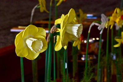Kirby W. Fong took home a few first prize awards, including these Winston Churchill daffodils grown in Livermore. José Quezada — For the Times-Standard