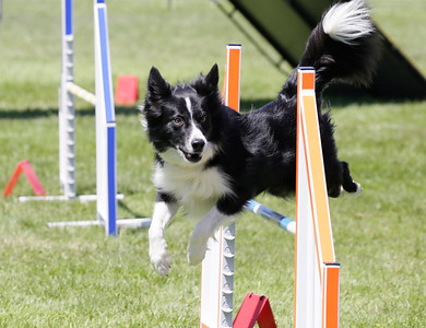 Shaun Walker — The Times-Standard  Lad, the border collie of Joann Olson of Arcata, jumps at the 13th-annual Lost Coast Kennel Club Agility Trials on the soccer field next to the Ferndale fairgrounds on Friday. The event continues through Monday afternoon with scores of dogs of many sizes competing on two adjustable agility courses and also simulating barn hunts for rodents.