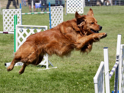 Shaun Walker — The Times-Standard  Jag, a golden retriever owned by Susan Hutchison of Eureka, jumps at the 13th-annual Lost Coast Kennel Club Agility Trials on the soccer field next to the Ferndale fairgrounds on Friday. The event continues through Monday afternoon with scores of dogs of many sizes competing on two adjustable agility courses and also simulating barn hunts for rodents.