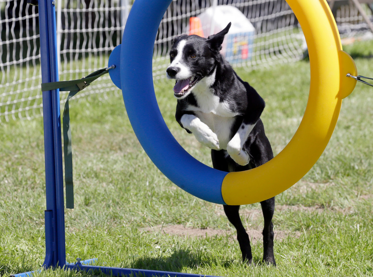 Shaun Walker — The Times-Standard  Tucson, the McNab of Celeste Barker of San Rafael, jumps at the 13th-annual Lost Coast Kennel Club Agility Trials on the soccer field next to the Ferndale fairgrounds on Friday. The event continues through Monday afternoon with scores of dogs of many sizes competing on two adjustable agility courses and also simulating barn hunts for rodents.