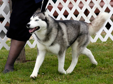 "Shaun Walker — The Times-Standard  Selena, a Siberian husky owned by Kelly Collins of Vallejo, trots around the judging area at the 17th-annual Lost Coast Kennel Club All Breed Show at the fairgrounds in Ferndale on Friday. Scores of dogs from the West Coast and beyond participate in conformation, obedience, and rally through early Sunday afternoon. Visitors can see dog breeds, browse vendors, and enter to win raffle prizes. This year the event features a puppy class and a ""Pee Wee"" class for handlers ages 5 to 9 years old. For more information, go to lostcoastkc.org."