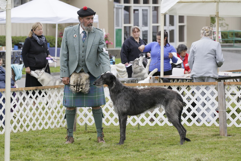 Shaun Walker — The Times-Standard  Opal a Scottish deer hound Bayard Smith of McKinleyville  at the 17th-annual Lost Coast Kennel Club All Breed Show at the fairgrounds in Ferndale on Friday.