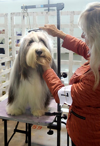 "Shaun Walker — The Times-Standard  Balou, a blue bearded collie from Belgium, is groomed by owner Kathy Pavlich of Eureka at the 17th-annual Lost Coast Kennel Club All Breed Show at the fairgrounds in Ferndale on Friday. Scores of dogs from the West Coast and beyond participate in conformation, obedience, and rally through early Sunday afternoon. Visitors can see dog breeds, browse vendors, and enter to win raffle prizes. This year the event features a puppy class and a ""Pee Wee"" class for handlers ages 5 to 9 years old. For more information, go to lostcoastkc.org."