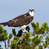An adult osprey makes a handsome sight, perched high in an evergreen tree. (Photo by Don Polunci)