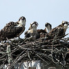 Osprey chicks have red eyes while adults have yellow eyes. (Photo provided by Don Polunci)