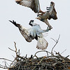 A pair of male ospreys battle for territory. (Photo provided by Don Polunci)