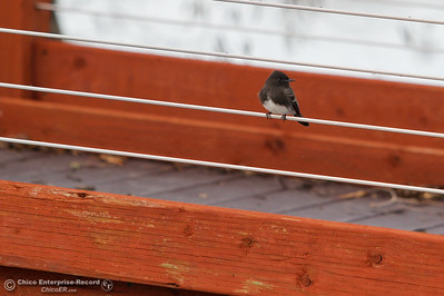 A cute little bird sits perched on the viewing deck at Llano Seco Wildlife Refuge December 5, 2016 in Chico, California. (Emily Bertolino -- Enterprise-Record)