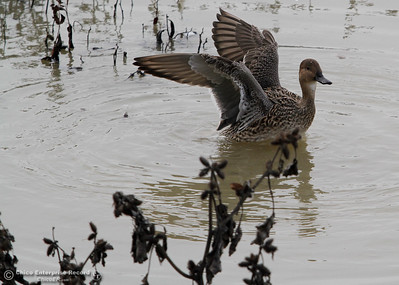 A duck flaps his wings December 5, 2016 at Llano Seco Wildlife Refuge in Chico, California. (Emily Bertolino -- Enterprise-Record)