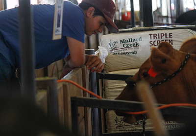 Zane Naphan and his cow Ruby a red angus breeding heifer at the Silver Dollar Fair Wednesday May 24, 2017 at the Silver Dollar Fairgrounds in Chico, California. (Emily Bertolino -- Enterprise-Record)