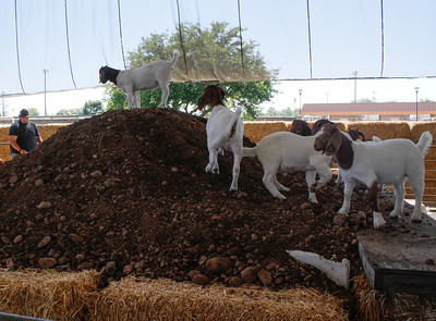 Goats pile atop a mountain in a animal display at the Silver Dollar Fair Tuesday May 23, 2017 at the Fairgrounds in Chico, California.  (Emily Bertolino -- Enterprise-Record)