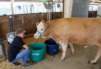 Blake Jayne with Palermo 4-H gives his cow water in preparation for the Silver Dollar Fair Tuesday May 23, 2017 at the Fairgrounds in Chico, California.  (Emily Bertolino -- Enterprise-Record)