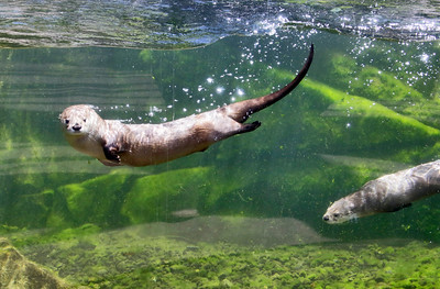 Shaun Walker — The Times-Standard  Two river otters swim at the Sequoia Park Zoo in Eureka on Wednesday, World Otter Day. The three otter brothers live in the Watershed Heroes area near bald eagles, a northern spotted owl, porcupine, steelhead trout, and salmon. World Otter Day is held to raise awareness globally about the plight of the animals. Twelve of the 13 otter species worldwide are declining because of hunting for the illegal fur trade, habitat destruction, reduction in available prey, and road deaths.