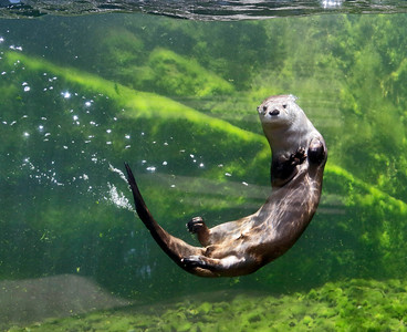 Shaun Walker — The Times-Standard  A river otter swims at the Sequoia Park Zoo in Eureka on Wednesday, World Otter Day. Three otter brothers live in the Watershed Heroes area near bald eagles, a northern spotted owl, porcupine, steelhead trout, and salmon. World Otter Day is held to raise awareness globally about the plight of the animals. Twelve of the 13 otter species worldwide are declining because of hunting for the illegal fur trade, habitat destruction, reduction in available prey, and road deaths.