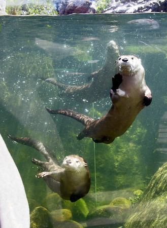 PHOTOS: River Otters at Sequoia Park Zoo