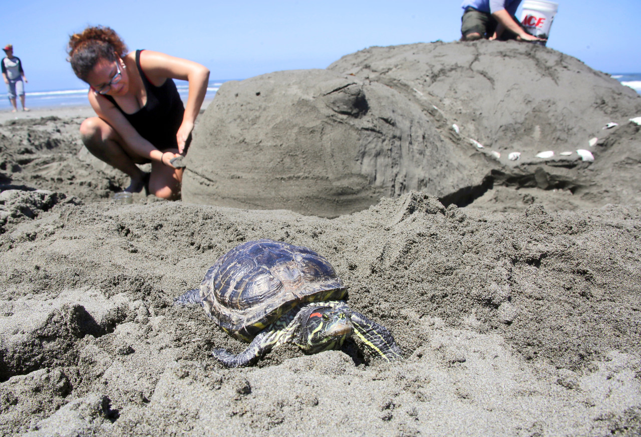 Shaun Walker — The Times-Standard  Sonya Navarro of Arcata, left, works away as Mariquita, the turtle the scultpure is named after, tries to go for a walk at the Friends of the Dunes Sand Sculpture Festival in Manila on Saturday. The team won Best of Show.