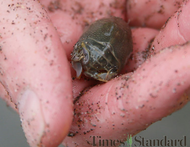Shaun Walker — The Times-Standard  A sand crab, dug from less than a foot under the surface of the beach, sits in Seat's had before going in a cleaned-out kitty litter bucket.
