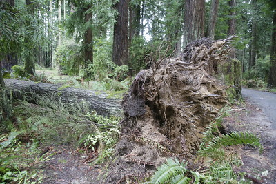 Shaun Walker — The Times-Standard  Several more trees have been blown down in Sequoia Park's Windstorm Meadow, seen here on Tuesday. The meadow was named after a 2005 storm blew down 75 trees there.