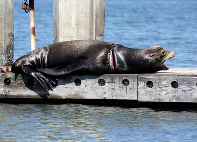 Shaun Walker — The Times-Standard  An injured sea lion appears to yawn as it lays in the sun at Eureka Public Marina on Wednesday afternoon. It has fishing line circling and cutting deep into its neck. The Northcoast Marine Mammal Center has received multiple calls about the animal and a woman there said a team is trying to decide whether they will be able to help the sea lion.