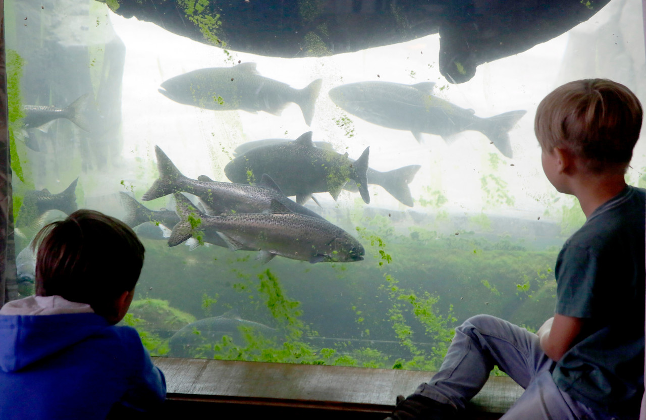"Shaun Walker — The Times-Standard  Two boys watch Chinook salmon during a Zoofari Adventure summer day camp on Thursday. Campers explored the day's theme of ""grossology"" through games, activities, examinations, and animal interactions. For more information on the zoo and its programs, go to sequoiaparkzoo.net."