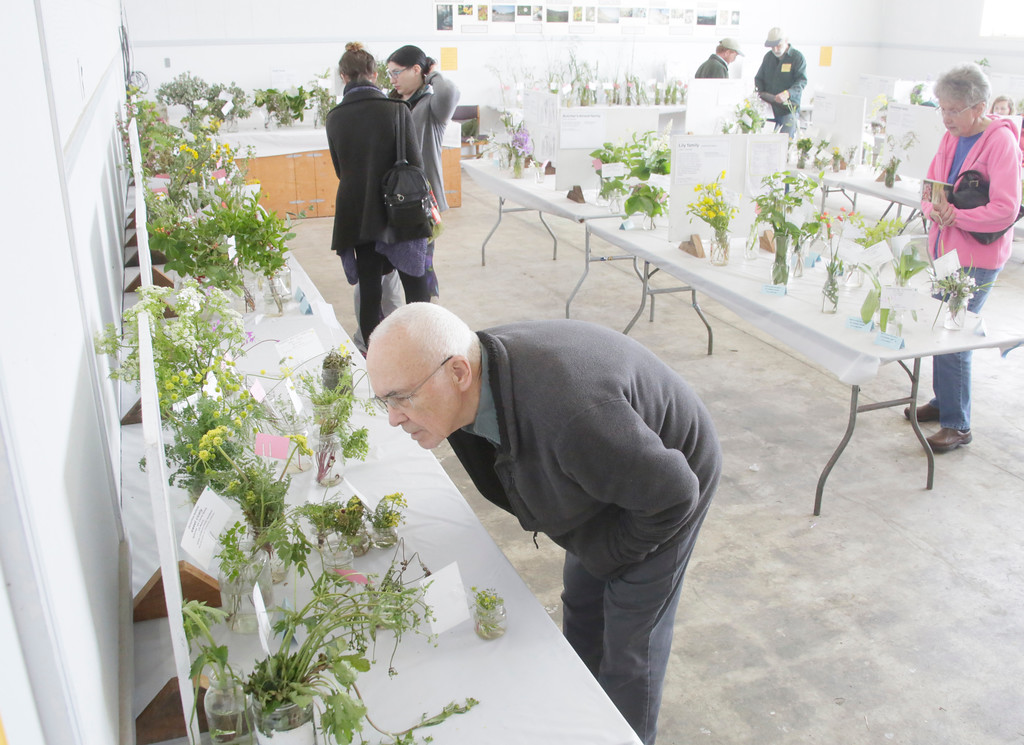 . Shaun Walker � The Times-Standard  Paul Abbott of Willow Creek examines entries at the Wildflower Show and Spring Plant Sale at the Jefferson Community Center in Eureka on Friday. The North Coast Chapter of the California Native Plant Society\'s 35th-annual show continues Saturday 10 a.m. to 5 p.m. and Sunday 10 a.m. to 4 p.m. It features the variety and beauty of native wildflowers of this region and hundreds of native plants will be available for sale.