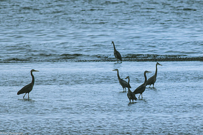 Great Blue Herons at the buffet table as the tide receedes from the Esquimalt Lagoon