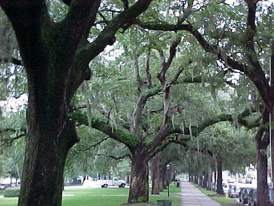 WALKING EAST ON BAY STREET Moss draped trees are a common sight in Savannah. (Savannah's Historic District, Sept 6, 2000)