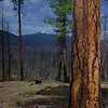 Ponderosa Pine ... Forest fire scars in background. (June 29, 2008)