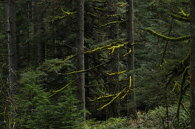 Oregon Forest