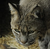 The bobcat looks like a domestic cat in this picture.