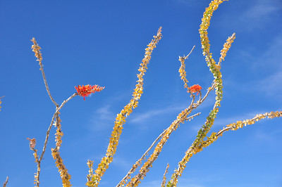 Desert ocotillo bush. Amazing colours.