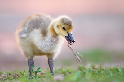 Canada Goose - Gosling