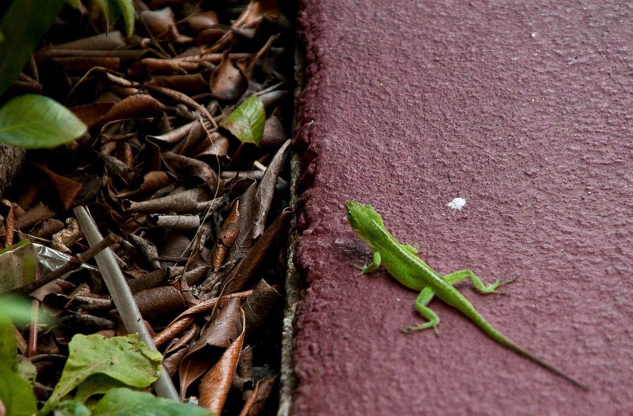 Resident Lizard