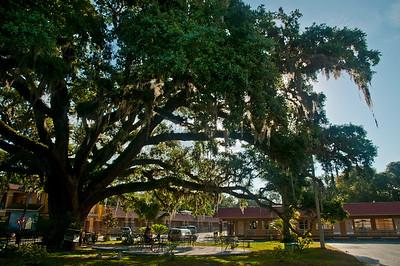 Old Senator Tree