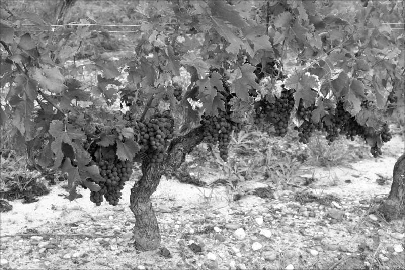 FRANCE - Vignobles à Loupiac