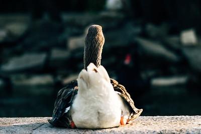 #Duckass