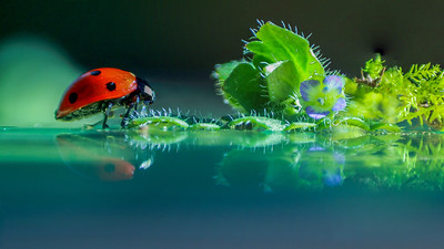 Ladybird  7