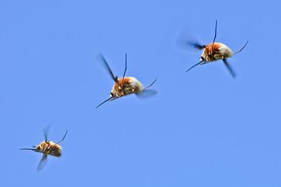 bee fly attacks