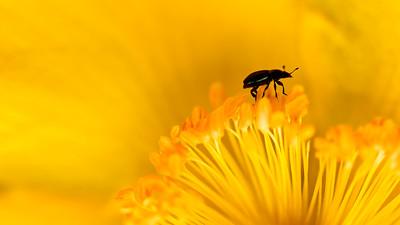 Flea Beetle  -  Altise