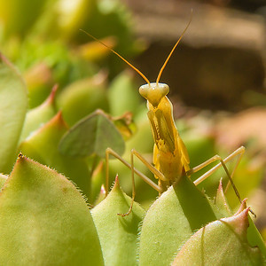 Praying Mantis - Mante Religieuse 3