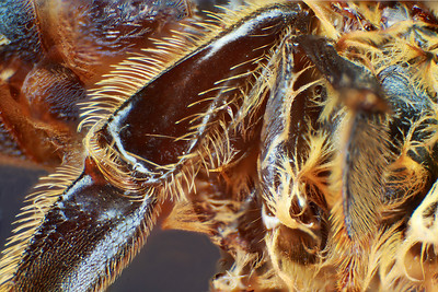 Details Paws of Charpenter Bee