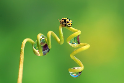 Asian Ladybug and Drops   by Bruno SUIGNARD