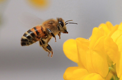 Bee   - px
