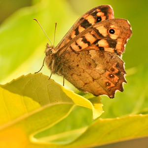 Butterfly - Papillon Belle Dame