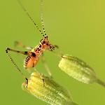 Baby Grasshopper by Bruno SUIGNARD