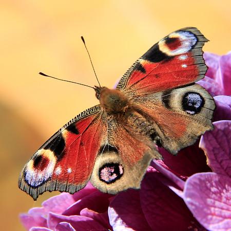Papillon Paon du jour  -  Butterfly Peacock