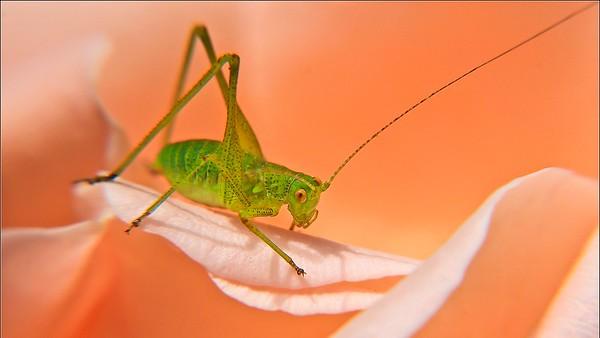 Tiny Grasshopper --  P'tite Sauterelle