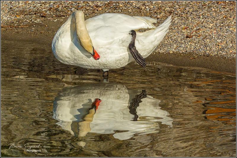 Swan- px