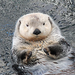 Marine Otter  -  Loutre Marine  -  px