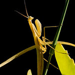 Praying Mantis - Mante Religieuse  1