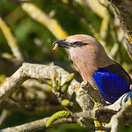 Rollier à Ventre Bleu    -   Blue-bellied roller
